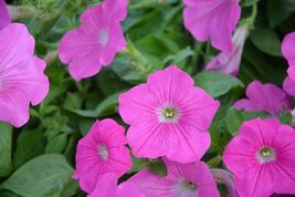 SHIPPED FROM US 200 Pink Petunia Flower Seeds , LC03 - $15.00