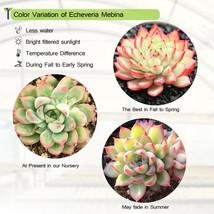 """Echeveria Mebina Succulent Home Garden Rare Plant in 2"""" Planter Live Plant image 3"""