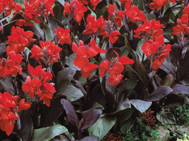 10pcs Scarlet Canna Tropical Bronze Perennial Red Flower Seeds Very Beautiful  - $14.97