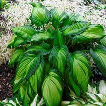 "2.5"" pot hosta ANGEL FALLS medium wavy ruffles 1 Cut Potted Plant - $27.99"