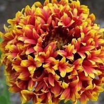 Gaillardia Sundance Bicolor Flower Seeds (Gaillardia Pulchella) 50+Seeds - $5.43+