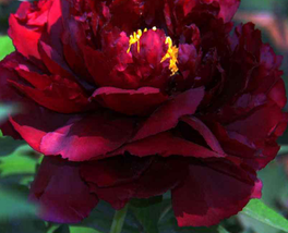 5 pcs Blackish Red Peony Plant Flower Seeds very pretty and fragrant   - $13.11