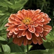 NEW!  30+ GIANT SALMON COLOR ZINNIA FLOWER SEEDS / ANNUAL / LONG LASTING - £4.03 GBP