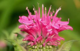 50+ PINK MONARDA BEE BALM FLOWER SEEDS / DEER RESISTANT PERENNIAL / GREA... - $4.89