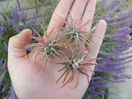 Three Pack - tillandsia Ionantha Fuego Airplant - $18.81
