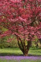 10 Red Dogwood Tree Seeds-1193B - $2.98