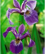 20 Seeds - Iris Versicolor Blue Flag Dagger Flower - $17.86