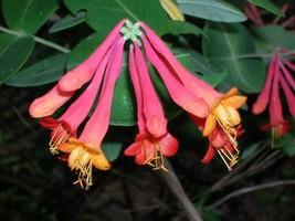 Organic Natve Plant, Trumpet,(Coral) Honeysuckle, Lonicera s - $10.00
