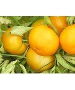 5 Packs of 25 Seeds Big Yellow - Tomato Seeds - $17.82
