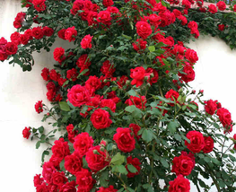 50pcs Very Enchant Rose Dark Red Climbing Flower Seeds  - $13.97