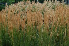 Five Karl Foerster Ornamental Grasses - 5 Perennial Plants - Calamagrostis  - $37.32