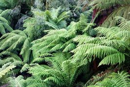 FERN PLANT ( 3 Live Plant/root) Shade Loving Plant,Low growing Zone 4 - 8 - $30.53