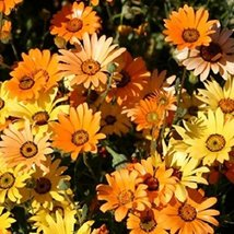 100 Fresh Seeds - African Daisy Orange Flower - $12.38
