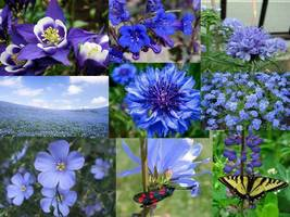SHIP FROM US 800 ALL Blue Wildflower Mix Seeds, ZG09 - $15.96