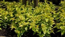 1 Starter Plant Diervilla Rivularis Honeybee, Fragrant Diervilla Plant -RK - $26.00