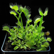 100 Pcs Venus Flytrap, IM Decorative Plant Tree - $9.99
