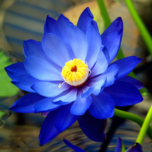 Blue Nelumbo Nucifera China Beautiful Lotus Pad Flowers Pond Lotus Seeds... - $5.90