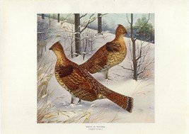 Early 1900s Antique Forest Hunting Print ~ Birds in Winter Ruffed Grouse - $27.91