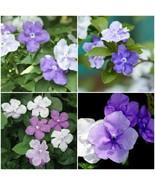 YESTERDAY TODAY TOMORROW Semi Tropical Flowering Shrub Plant Purple Whit... - $49.99