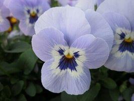 20 Pcs Seeds Shangri-La Marina Viola – Perennial HH01 - $17.99