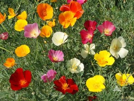 200 Mixed California Poppy Flower Seeds 2019 (All Non-Gmo Heirloom Seeds!) - $5.92