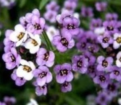 SHIP From US, 1 gram 2400 Seeds Alyssum Royal Sweet Carpet, DIY ZJ - $29.07
