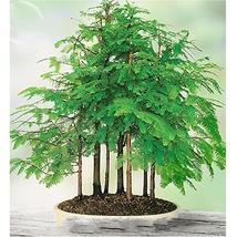 50 Seed 'Grove' Dawn Redwood Bonsai Tree F1 Seeds, DIY Beautiful Tree DO - $10.99