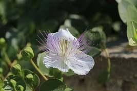 Caper Bush Seeds | Capparis Spinosa Seeds | 100 seeds - $28.02