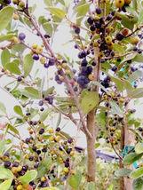 Spanish Stopper Eugenia foetida, Florida native wild tree bonsai seed 50 seeds - $36.00
