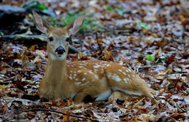 Fawn 13 x 19 Unmatted Photograph  - $35.00