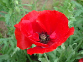 SHIP From US, 1500 Seeds Poppy Red, DIY Decorative Plant ZJ - $18.27