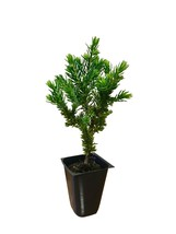 Juniper 'Blue Pacific' - 30 Live Plants - Cold Hardy Evergreen Groundcover - $92.98