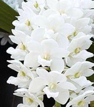 "Three Plant Set Rhynchostylis gigantea RED, WHITE & ORANGE Orchid Plant ""Species image 6"