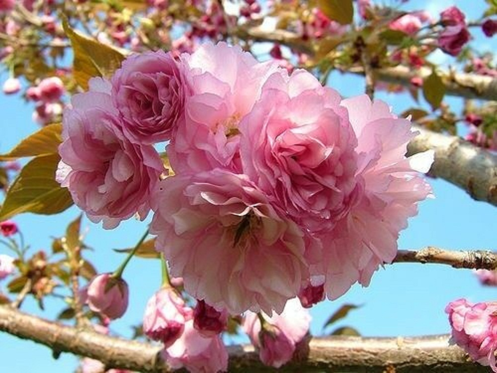 Kwanzan Flowering Cherry tree 2 plants