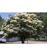 20 Seeds Japanese Tree Lilac Seeds ( Syringa reticulata) - $11.87