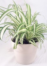 """Plant Ocean Spider Flowers Easy to Grow Cleans Air Indoor Ceramic 4""""Pot NEW - $28.43"""