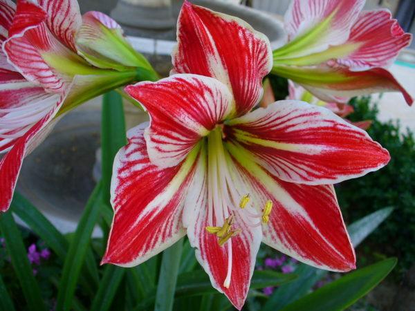 1 Large Bulb - Amaryllis Minerva - Very Easy to Grow