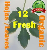 Hojas de Higo Higuera 12 Fresh Fig Leaves Natural Organic Tea Ficus Carica  !! - $93.44