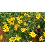 6 Sunchoke Tubers/Plants Fuseau Helianthus tuberosa Sunroot Jerusalem Ar... - $32.99