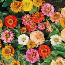 Zinnia Thumbelina Mix - 25 Flower Seeds - $8.99