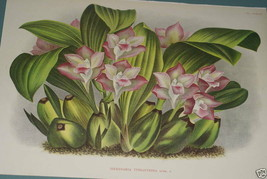 Lindenia Limited edition Print Bifrenaria Tyrianthina Orchid Designer Wa... - $14.24