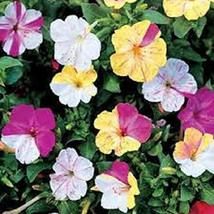36 Four O' Clock's Kaleidoscope Seeds Beautiful Mixed Colors on The Same... - $47.52