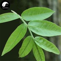 Buy Cyclocarya Paliurus Tree Seeds 60pcs Plant Chinese Herb Tea Hypoglyc... - $5.99