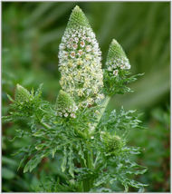 SHIPPED FROM US 200 Mignonette Sweet Mignonette Reseda Odorata, GS04 - $13.00