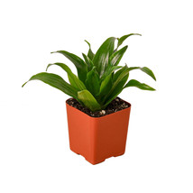 "1 Live Plant -Dracaena Janet Craig 2.25"" Pot #HPS13 - $20.99"