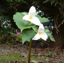 White Trillium 5 bulbs Wood Lily image 2