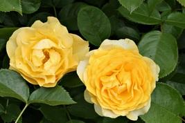 2 Gallon Julia Child Butter Gold Rose Floribunda Plant Roses Outdoors Ga... - $135.99