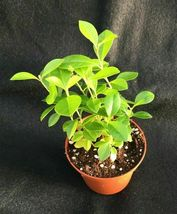 "STRAWBERRY GUAVA, ROOTED PLANTS SHIPPED IN 3"" POT! - $30.77"
