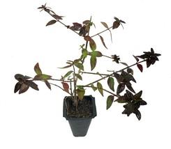 Abelia Grandiflora Edward Goucher - Live Plants - Flowering Deer Resistant - $28.60+