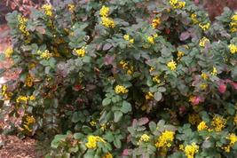 "Mahonia Repens""Spreading Oregon Grape"" 3 Native Plants, FREE PRIORITY SH... - $19.95"